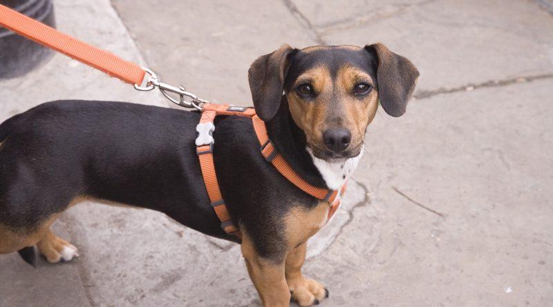 Smycz Flexi – Twój pies ją pokocha!